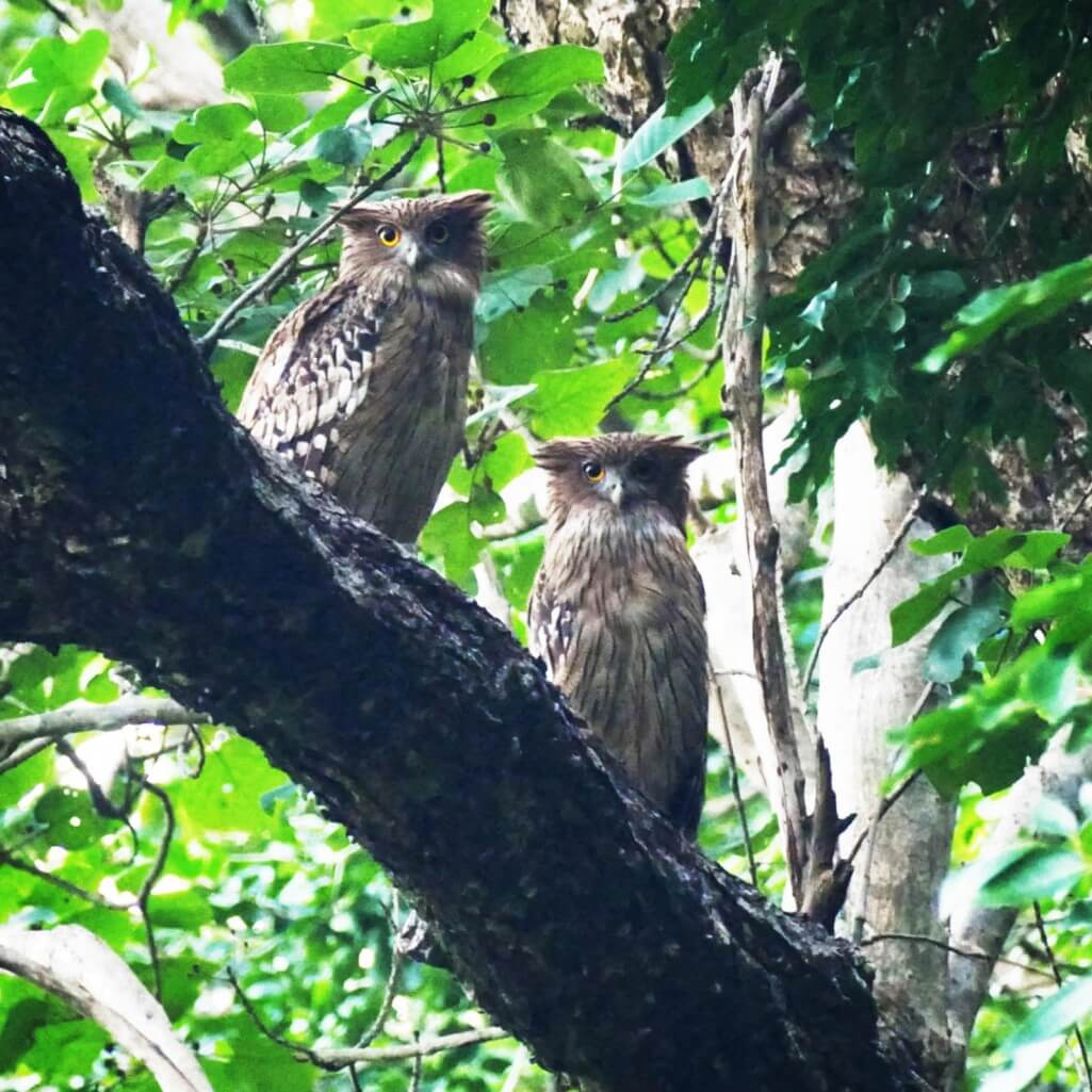 A pair of Brown Fish-Owls roosts in Jim Corbett National Park. Photo: Noah Strycker