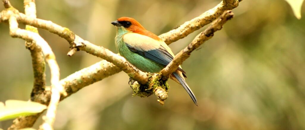 The Chestnut-backed Tanager is one of many attractive tanagers endemic to the Atlantic Rainforest.