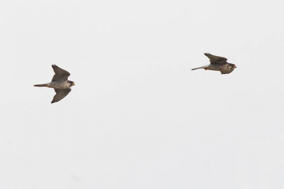 A pair of European Lanners (Falco biarmicus feldeggii) in flight over a breeding site in Sicily (Photo: Stefania Merlino)